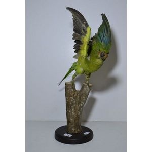 taxidermied parrots, galahs, toucans, rosellas, macaws