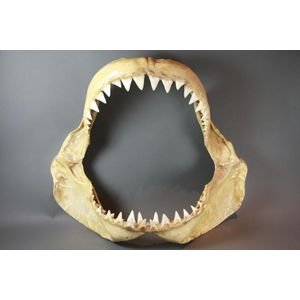 taxidermied tooth, teeth, other - price guide and values