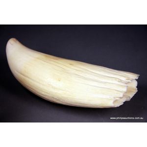 Taxidermied Whale Tooth Teeth Price Guide And Values